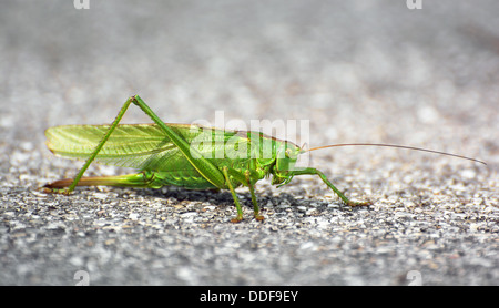Große grüne Heuschrecke auf dem Boden. - Stockfoto