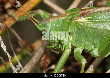 Weiblichen europäischen Great Green Bush Cricket (Tettigonia Viridissima) Inm Nahaufnahme. - Stockfoto