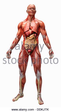 Menschliche Muskeln und Sehnen für anatomisches Modell Stockfoto ...