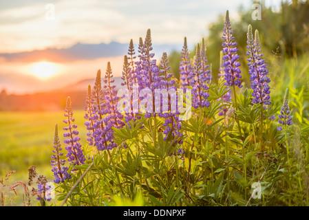 Blaue Lupinen (Lupinus Angustifolius) bei Sonnenuntergang - Stockfoto