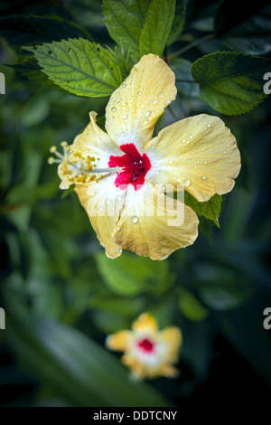 yellow hibiscus blume im garten stockfoto bild 169856073 alamy. Black Bedroom Furniture Sets. Home Design Ideas