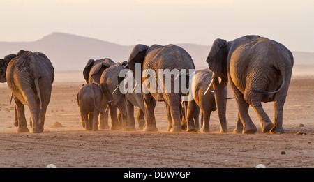 Elefantenherde zu Fuß in Richtung Sonnenuntergang in goldenes Licht, Rückansicht, Nahaufnahme, Seegrund Amboseli, - Stockfoto