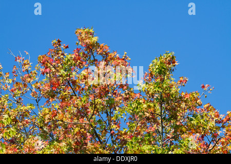 Die Wipfel eines Baumes Sweetgum (Liquidambar Styraciflua) in der Herbstsaison vor einem strahlend blauen Himmel. - Stockfoto