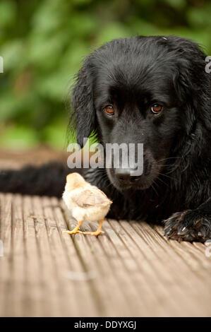 Schwarzen Hovawart kuscheln mit zwei Küken, tierische Freundschaft - Stockfoto