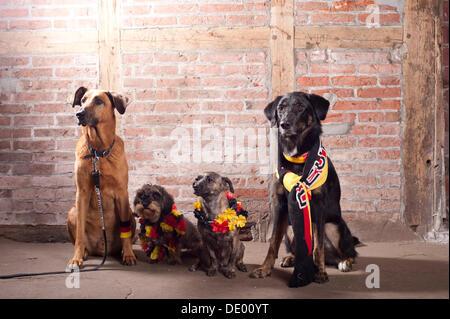4 Hunde tragen Outfits in den deutschen Nationalfarben, schwarz-rot-gold - Stockfoto
