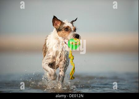 Parson Russell Terrier spielen am Strand - Stockfoto