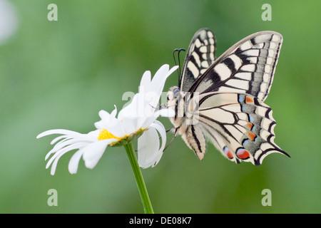 Alten Welt Schwalbenschwanz (Papilio Machaon) Schmetterling auf einer Margerite - Stockfoto