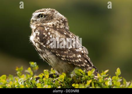 Steinkauz, Athene Noctua, thront in Heidelbeere auf Moorland, Yorkshire, Großbritannien. Gefangener Vogel. - Stockfoto