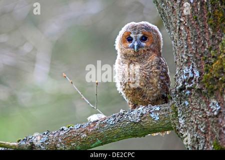 Junger Waldkauz oder braune Eule (Strix Aluco) thront auf einem Baum, Solms, Lahn-Dill-Kreis, Westerwald, Hessen, - Stockfoto