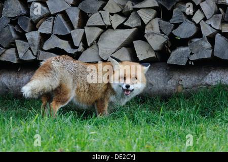 Red Fox (Vulpes vulpes) - Stockfoto