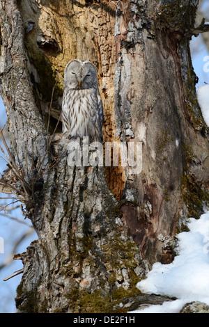 Habichtskauz (Strix Uralensis) thront auf einem alten Baumstamm, nisten in den alten Baum, Kawayu Onsen, Kushiro, - Stockfoto