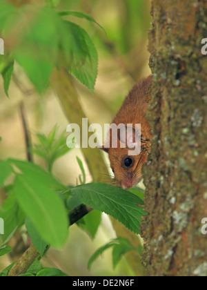 Essbare Siebenschläfer oder Fett Siebenschläfer (Glis Glis) thront auf einem Baum, Solms, Hessen - Stockfoto