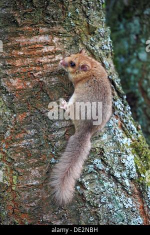 Essbare Siebenschläfer oder Fett Siebenschläfer (Glis Glis) festhalten an einem Baumstamm, Solms, Hessen - Stockfoto