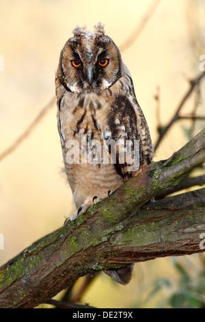 Waldohreule (Asio Otus), vollwertige Jungvogel, Branchling auf einem Ast, Apetlon, Neusiedlersee, Burgenland, Österreich - Stockfoto