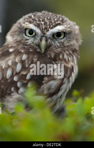 Steinkauz (Athene Noctua) thront auf Moorland, typische Lebensraum für den Vogel. In Gefangenschaft, UK. - Stockfoto
