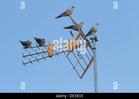 Tauben auf eine TV-Antenne. - Stockfoto