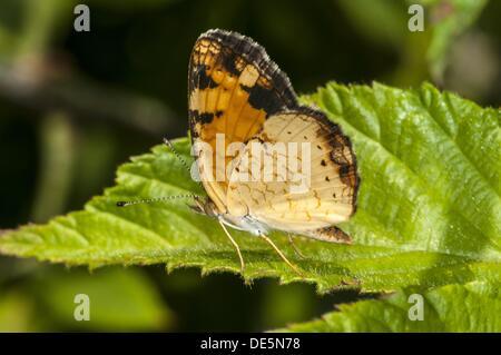 Nördlichen Crescent Schmetterling Phyciodes selenis - Stockfoto