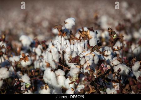 Ein Bereich der Baumwollpflanzen reif für die Ernte - Stockfoto