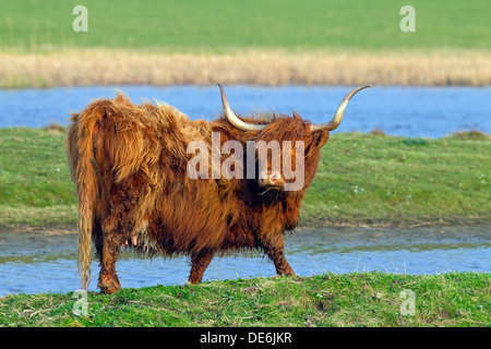 Red Highland Cattle (Bos Taurus) Kuh im Feld - Stockfoto