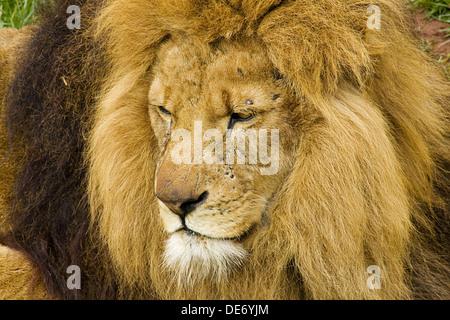 Schuss in den Kopf eines männlichen Löwen eine Raubkatze, der König des Dschungels, mit Narben von kämpft, hautnah Stockfoto