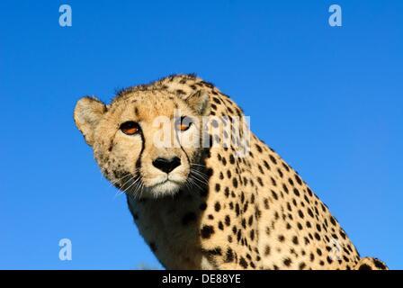 Porträt von einem weiblichen Gepard Acinonyx Jubatus in frühen Morgen leichte Private Wildfarm nahe Windhoek, Namibia - Stockfoto
