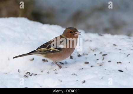 Buchfink, Männlich, Buchfink, Buch-Fink, Männchen, Fringilla Coelebs, Winter, Schnee, Schnee, Fütterung der Vögel, - Stockfoto