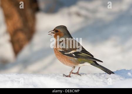 Buchfink, Männlich, Buchfink, Buch-Fink, Männchen, Fringilla Coelebs, Winter, Schnee, Schnee - Stockfoto