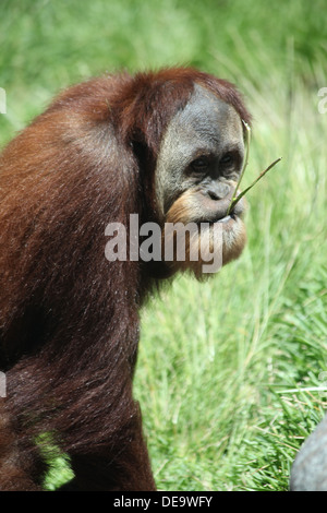 Ein Orang-Utan zu Fuß während des Essens - Stockfoto
