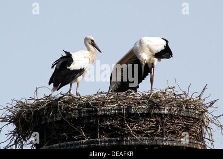 Zwei Jugendliche Weißstörche (Ciconia Ciconia) auf dem nest - Stockfoto
