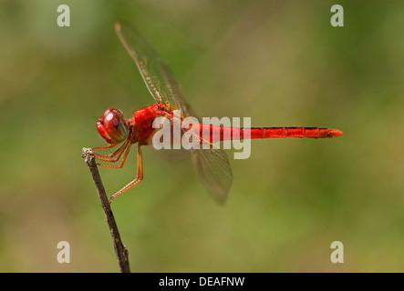 Scharlachrote Skimmer, crimson Darter (Crocothemis Servilia), Männlich, Battambang, Kambodscha, Südostasien, Asien - Stockfoto