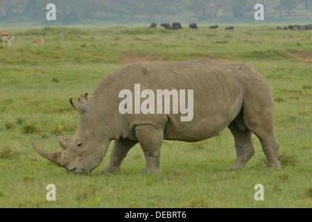 Breitmaulnashorn oder Square-lippige Rhinoceros (Ceratotherium Simum), Lake Nakuru National Park, in der Nähe von - Stockfoto