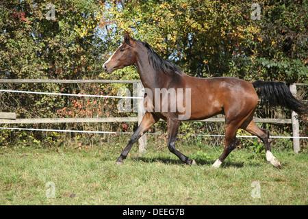 Warmblut Pferd Rennen auf Weideflächen im Herbst - Stockfoto