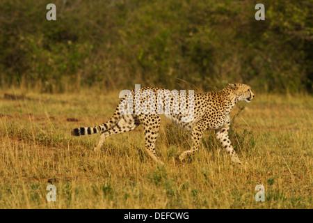 Gepard (Acinonyx Jubatus) unterwegs, Maasai Mara Wildlife Reserve, Kenia. - Stockfoto