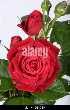 eine zarte und komplizierte rote bl te einer kleinen rose gewachsen in einem topf als. Black Bedroom Furniture Sets. Home Design Ideas