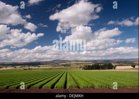 Möhren wachsen auf Ackerland in der Nähe von Couper Angus, Schottland. - Stockfoto