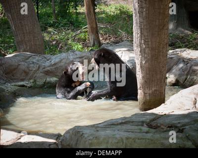 Zwei malaiischen Malaienbären (Helarctos Malayanus) spielen in einem Teich im Phnom Tamao Wildlife Centre in Phnom - Stockfoto