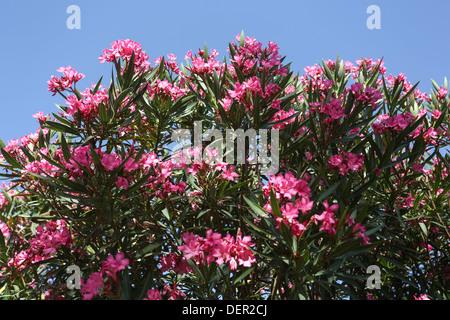 Blüte rosa Oleander (Nerium Oleander) auf blauen Himmelshintergrund fotografiert in Israel im Juni - Stockfoto