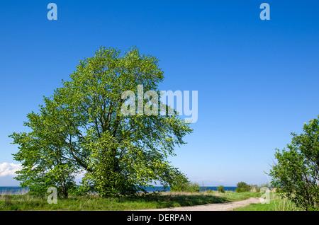 Grossen, weiten Baum Straßenrand an der Küste der Ostsee auf der Insel Öland in Schweden. - Stockfoto