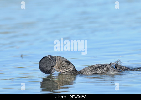 Moschus-Ente Biziura Lobata männlichen zeigt Bilder aus dem Monat in Victoria, Australien - Stockfoto