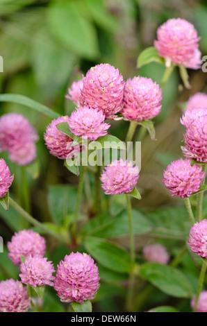 Globus Amaranth (gomphrena Nana' las vegas Pink') - Stockfoto