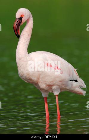 Lesser Flamingo (Phoenicopterus minor), ursprünglich aus Afrika, in Gefangenschaft - Stockfoto