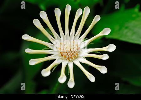 Kap-Marguerite, Van Staden Fluss Daisy, sonntags Fluss Daisy oder Stern der Steppe (Dimorphotheca ecklonis - Stockfoto