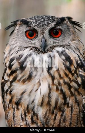 Europäische oder eurasische Adler-Eule (Bubo Bubo), North Rhine-Westphalia, Deutschland - Stockfoto