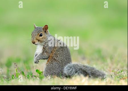 Graues Eichhörnchen (Sciurus Carolinensis), Florida, Vereinigte Staaten - Stockfoto