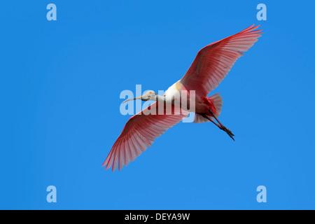 Rosige Löffler (Ajaia Ajaja Ajaja Ajaja, Platalea Ajaja) im Flug, Merritt Insel, Florida, Vereinigte Staaten von - Stockfoto
