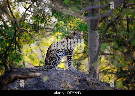 Leopard (Panthera Pardus), Savuti, Chobe Nationalpark, Botswana - Stockfoto