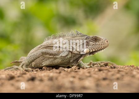 Stock Foto von einem grünen Leguan stellte an einem Strand im Pantanal. - Stockfoto