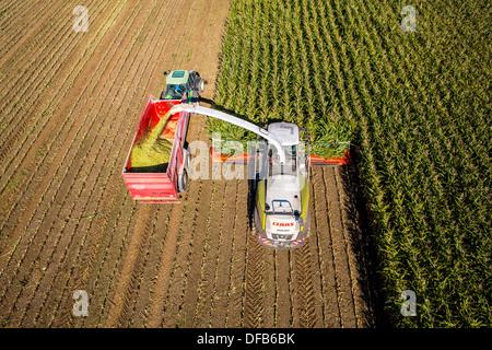 Landwirtschaft, Maisernte. Kombinieren Sie, Harvester Werke durch ein Maisfeld. Die Silage wird direkt in einen - Stockfoto