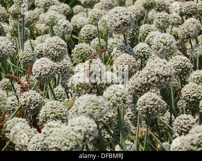 blumen der zwiebel allium cepa indien stockfoto bild 54278251 alamy. Black Bedroom Furniture Sets. Home Design Ideas