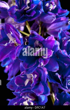 Delphinium-Blumen auf schwarzem Hintergrund, Nahaufnahme - Stockfoto